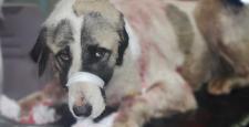 Parkta Bıçaklanmış Olarak Bulunan Köpek Ameliyata Alındı