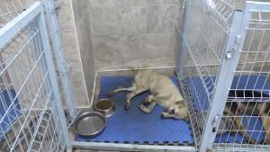 Ayağı ve Kuyruğu Kesilen Köpek Tedavi Altına Alındı