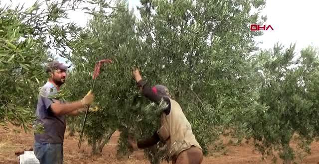Gaziantep islahiye'de hasadı başlayan zeytin fiyatıyla sevindirdi