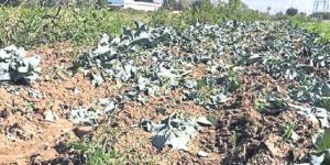 Çiftçi, Tarlayı Lağım Suyuyla Sularken Yakalandı