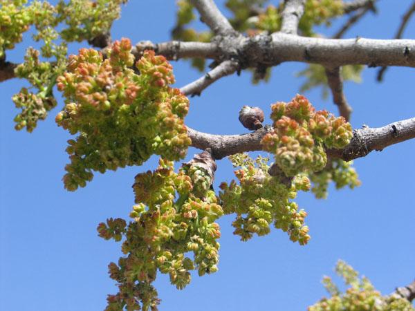 Antep Fıstığı Ağaçları Çiçek Açtı